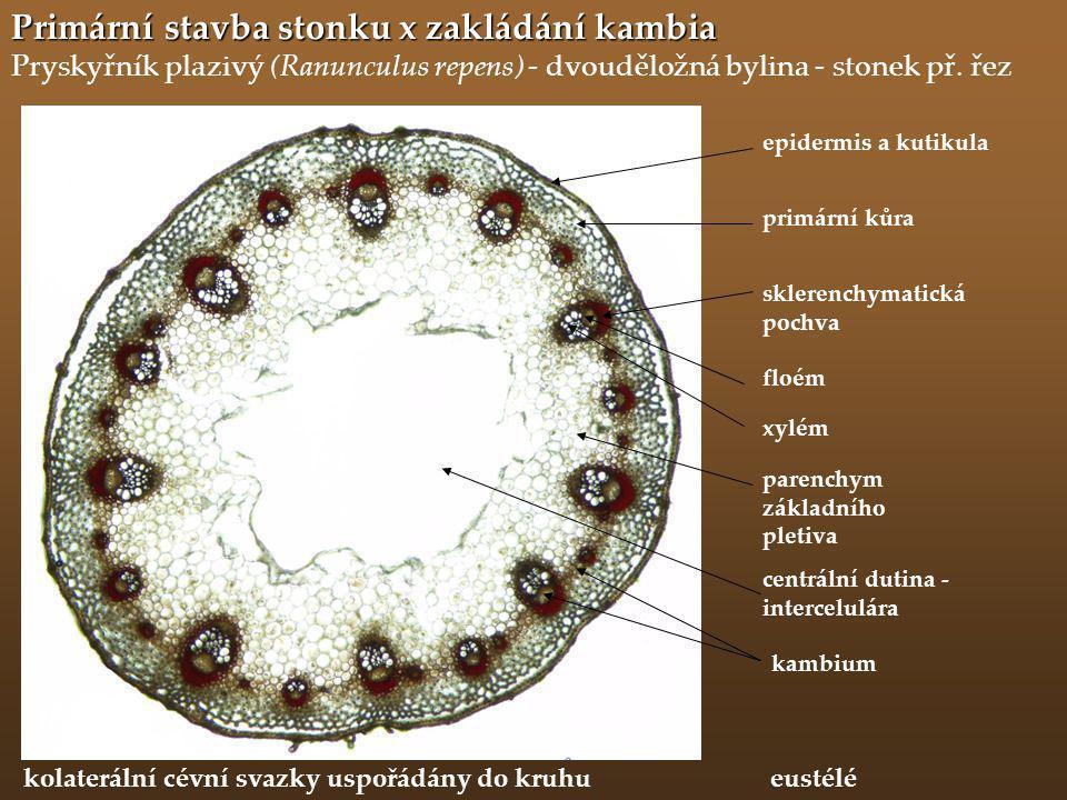 Primární stavba stonku x zakládání kambia Pryskyřník plazivý (Ranunculus repens) - dvouděložná bylina - stonek př. řez primární kůra epidermis a kutik