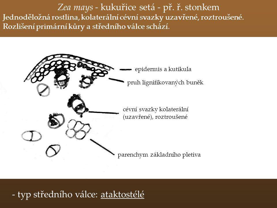 Zea mays - kukuřice setá - př. ř. stonkem Jednoděložná rostlina, kolaterální cévní svazky uzavřené, roztroušené. Rozlišení primární kůry a středního v