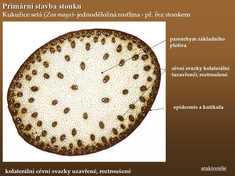 Primární stavba stonku Kukuřice setá (Zea mays)- jednoděložná rostlina - př. řez stonkem epidermis a kutikula ataktostélé parenchym základního pletiva