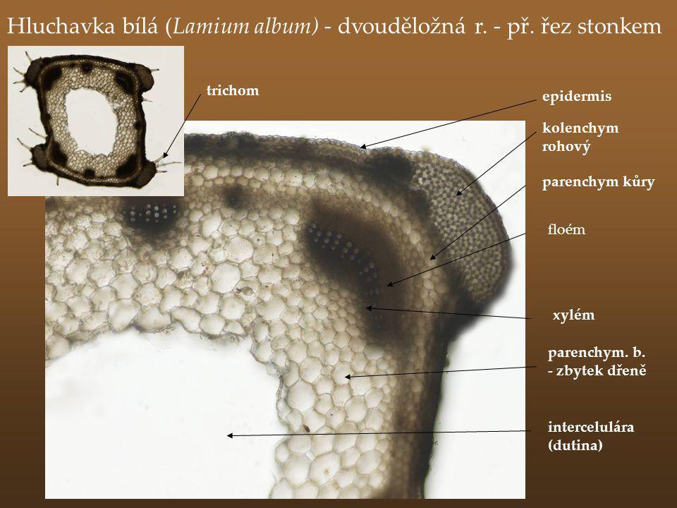 Hluchavka bílá (Lamium album) - dvouděložná r. - př. řez stonkem floém kolenchym rohový intercelulára (dutina) parenchym. b. - zbytek dřeně parenchym
