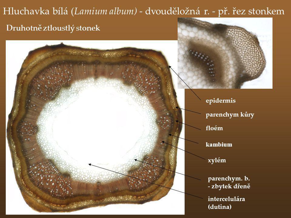 Hluchavka bílá (Lamium album) - dvouděložná r. - př. řez stonkem floém intercelulára (dutina) parenchym. b. - zbytek dřeně parenchym kůry xylém epider