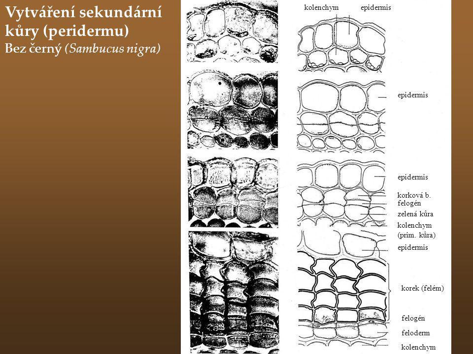 Vytváření sekundární kůry (peridermu) Bez černý (Sambucus nigra) kolenchymepidermis korková b. felogén zelená kůra kolenchym (prim. kůra) epidermis ko