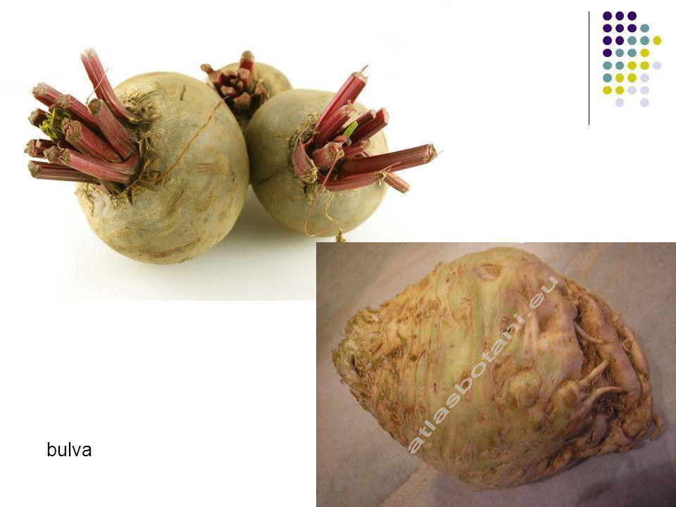 bulva