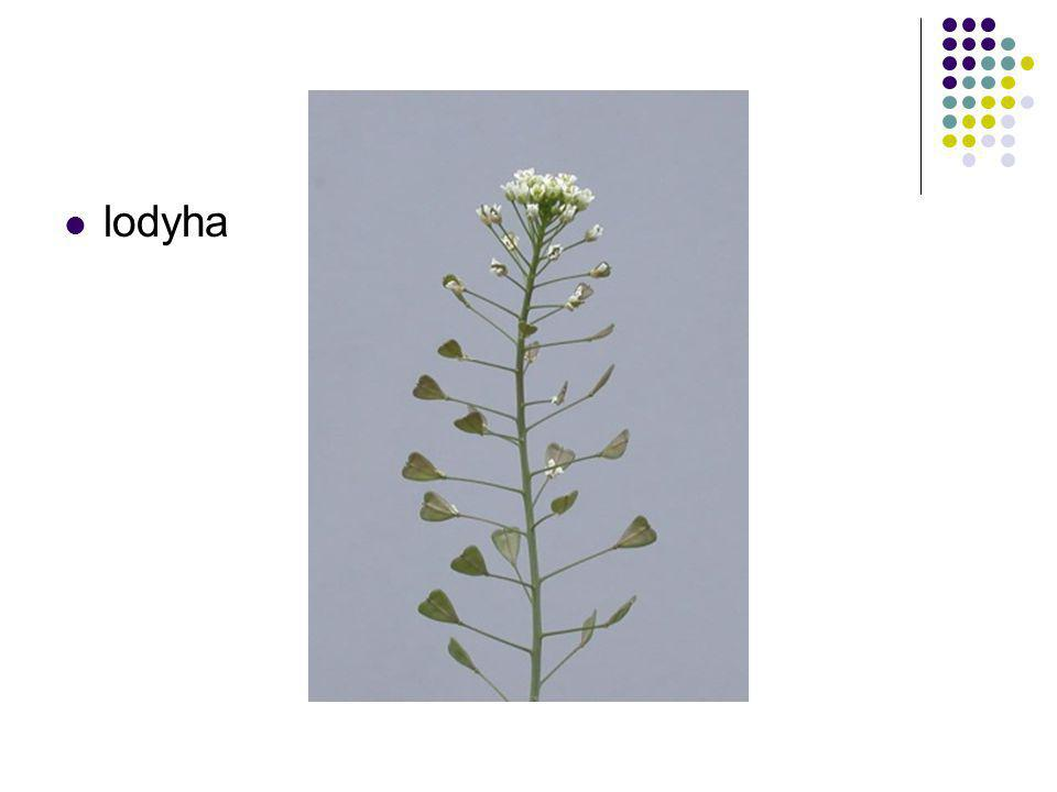 Kolaterální svazek cévní otevřený – stonek pryskyřníku (Ranunculus) - příčný řez Počátek tvorby kambia mechanická pochva protofloém metafloém metaxylém protoxylém