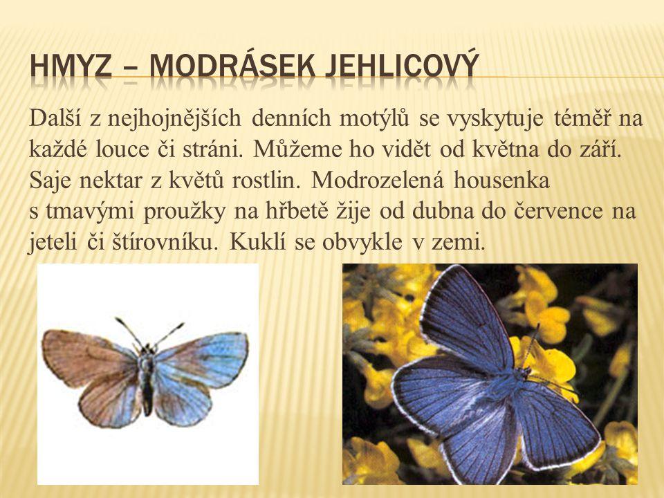 Další z nejhojnějších denních motýlů se vyskytuje téměř na každé louce či stráni.