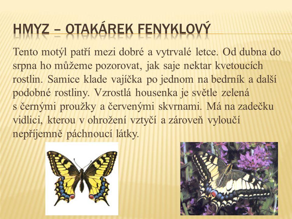 Tento motýl patří mezi dobré a vytrvalé letce.