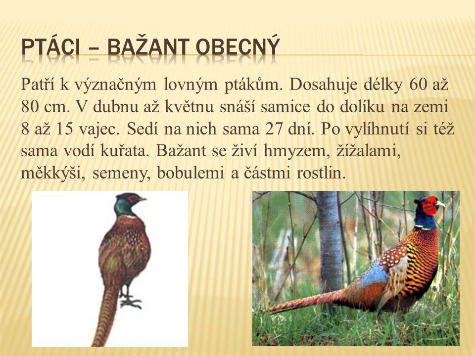 Patří k význačným lovným ptákům.Dosahuje délky 60 až 80 cm.