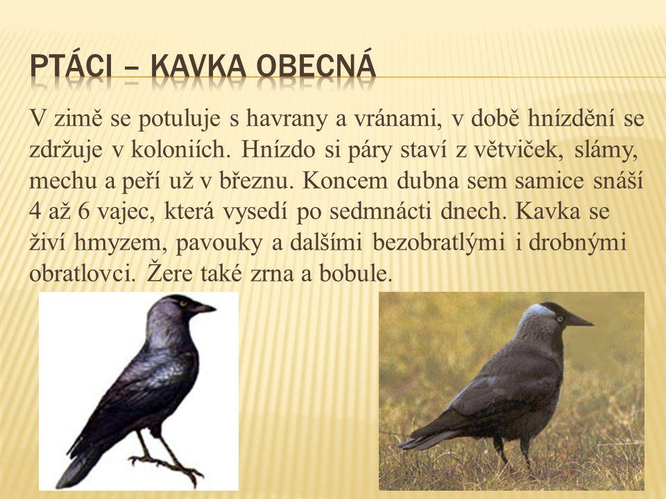 V zimě se potuluje s havrany a vránami, v době hnízdění se zdržuje v koloniích.