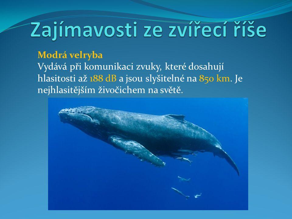 Modrá velryba Vydává při komunikaci zvuky, které dosahují hlasitosti až 188 dB a jsou slyšitelné na 850 km. Je nejhlasitějším živočichem na světě.