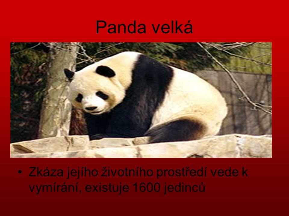 Panda velká •Zkáza jejího životního prostředí vede k vymírání, existuje 1600 jedinců