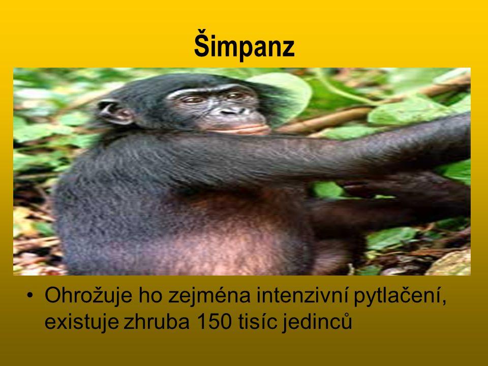 Šimpanz •Ohrožuje ho zejména intenzivní pytlačení, existuje zhruba 150 tisíc jedinců