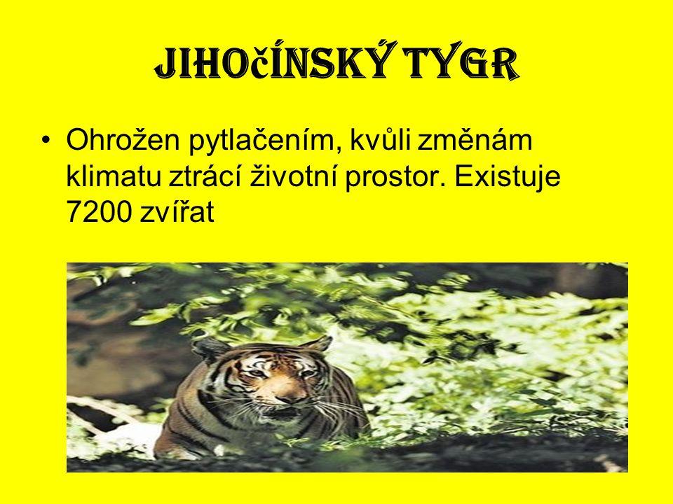 Jiho č ínský tygr •Ohrožen pytlačením, kvůli změnám klimatu ztrácí životní prostor. Existuje 7200 zvířat