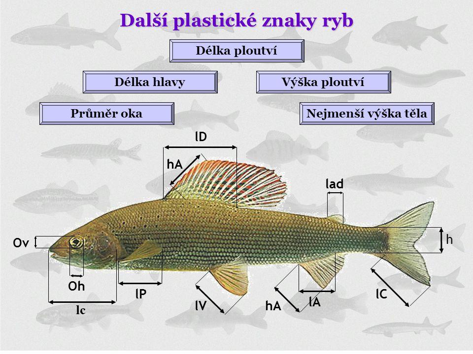 Délka hlavyVýška ploutví Nejmenší výška těla Délka ploutví Průměr oka Další plastické znaky ryb lc lP lV hA lD hA lA lC lad h Oh Ov