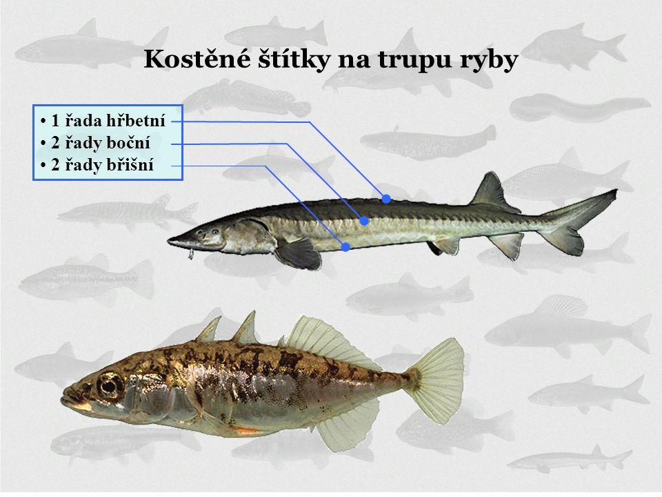 Kostěné štítky na trupu ryby • 1 řada hřbetní • 2 řady boční • 2 řady břišní