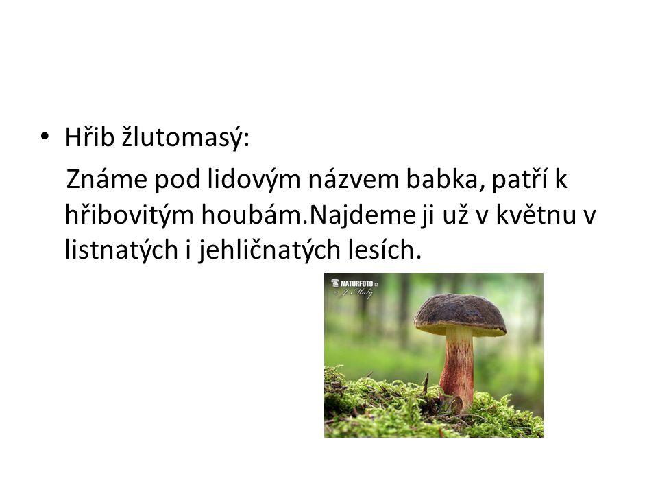 • Hřib žlutomasý: Známe pod lidovým názvem babka, patří k hřibovitým houbám.Najdeme ji už v květnu v listnatých i jehličnatých lesích.