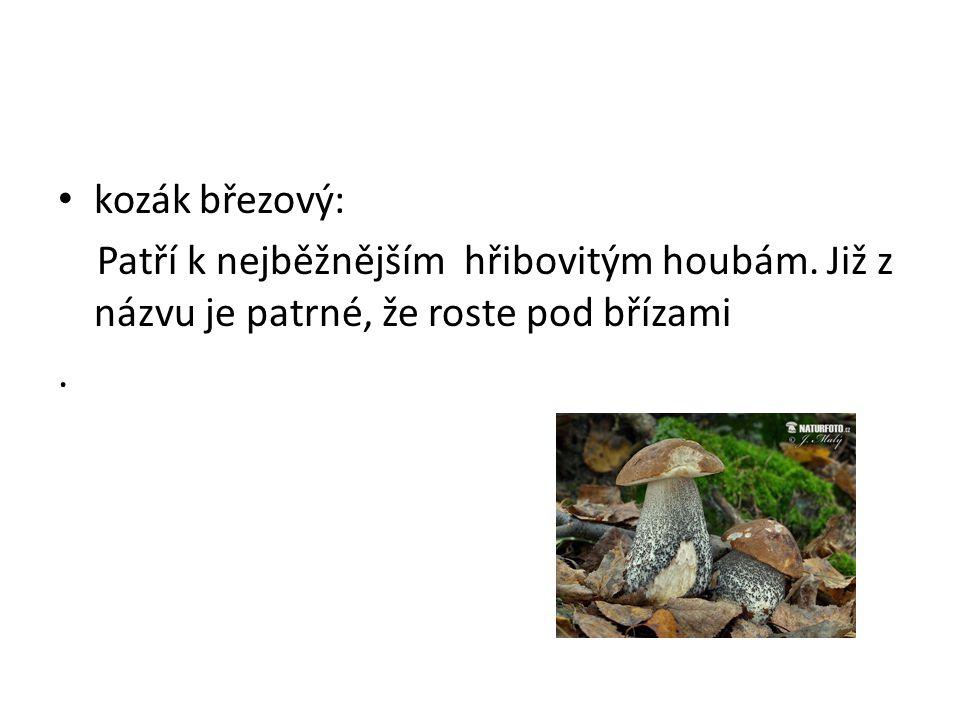 • kozák březový: Patří k nejběžnějším hřibovitým houbám. Již z názvu je patrné, že roste pod břízami.