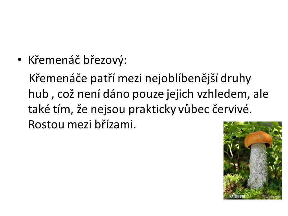 • Křemenáč březový: Křemenáče patří mezi nejoblíbenější druhy hub, což není dáno pouze jejich vzhledem, ale také tím, že nejsou prakticky vůbec červiv