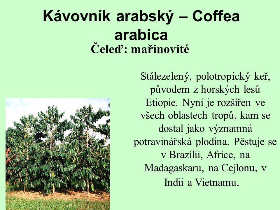 Stálezelený, polotropický keř, původem z horských lesů Etiopie. Nyní je rozšířen ve všech oblastech tropů, kam se dostal jako významná potravinářská p