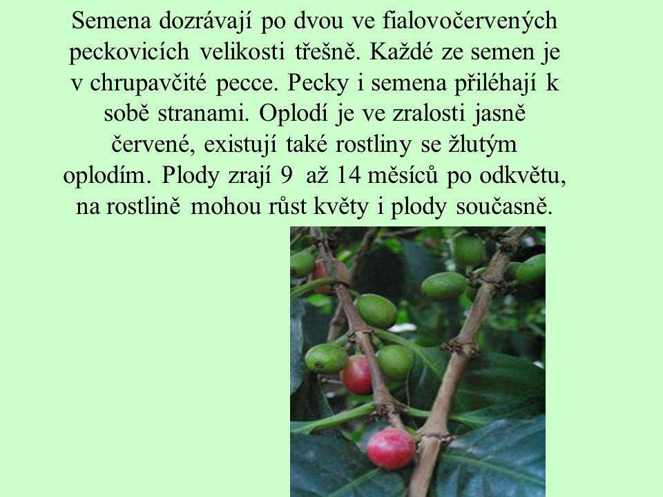 Semena dozrávají po dvou ve fialovočervených peckovicích velikosti třešně. Každé ze semen je v chrupavčité pecce. Pecky i semena přiléhají k sobě stra