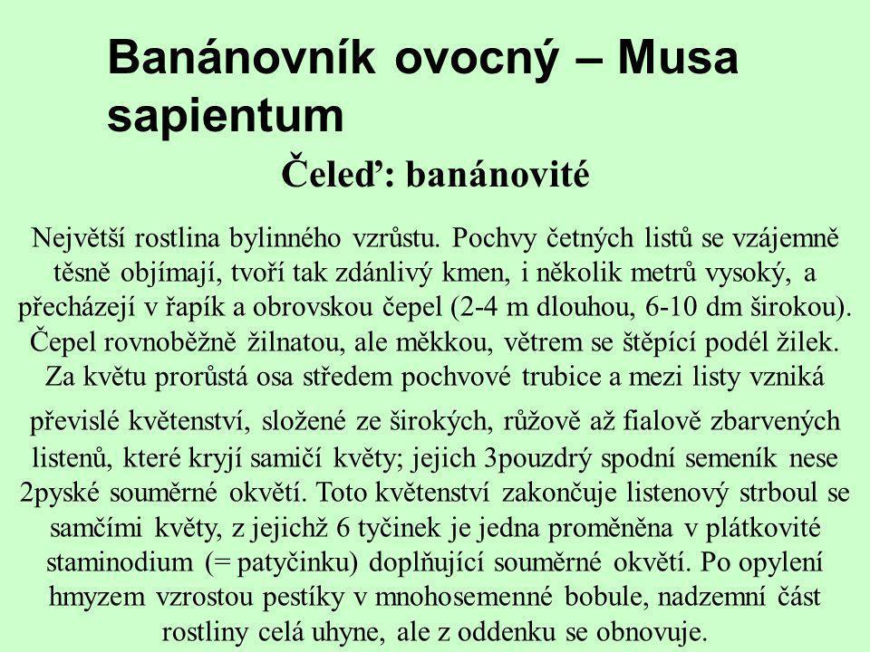 Banánovník ovocný – Musa sapientum Čeleď: banánovité Největší rostlina bylinného vzrůstu. Pochvy četných listů se vzájemně těsně objímají, tvoří tak z