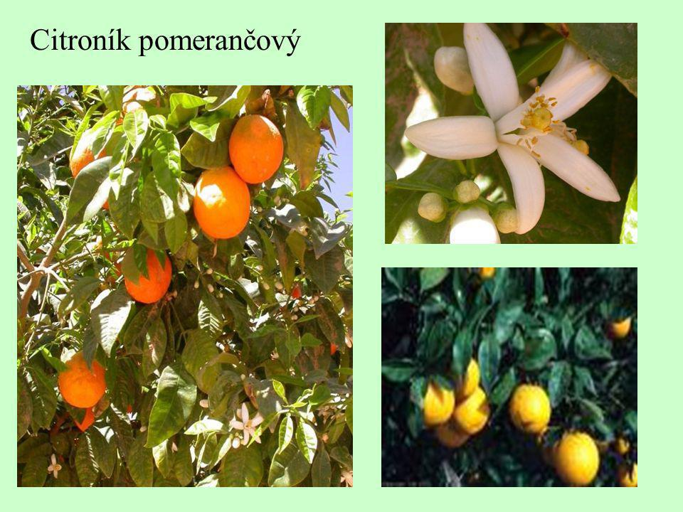 Citroník pomerančový