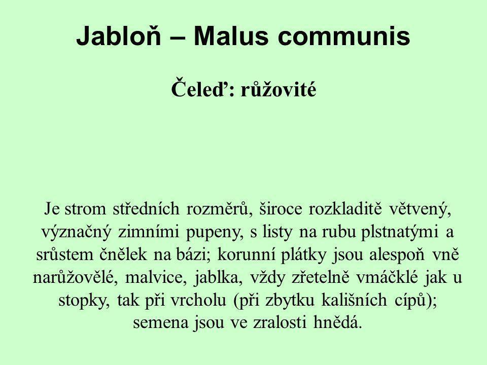 Jabloň – Malus communis Čeleď: růžovité Je strom středních rozměrů, široce rozkladitě větvený, význačný zimními pupeny, s listy na rubu plstnatými a s