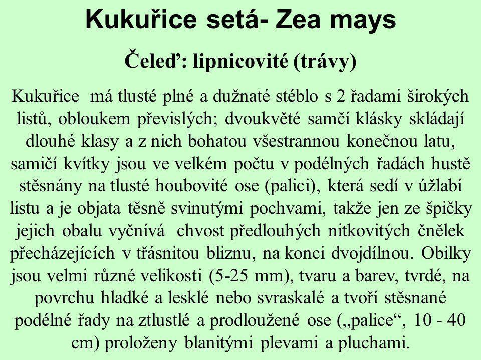 Kukuřice setá- Zea mays Čeleď: lipnicovité (trávy) Kukuřice má tlusté plné a dužnaté stéblo s 2 řadami širokých listů, obloukem převislých; dvoukvěté