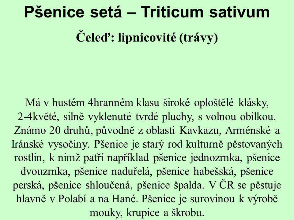 Pšenice setá – Triticum sativum Čeleď: lipnicovité (trávy) Má v hustém 4hranném klasu široké oploštělé klásky, 2-4květé, silně vyklenuté tvrdé pluchy,
