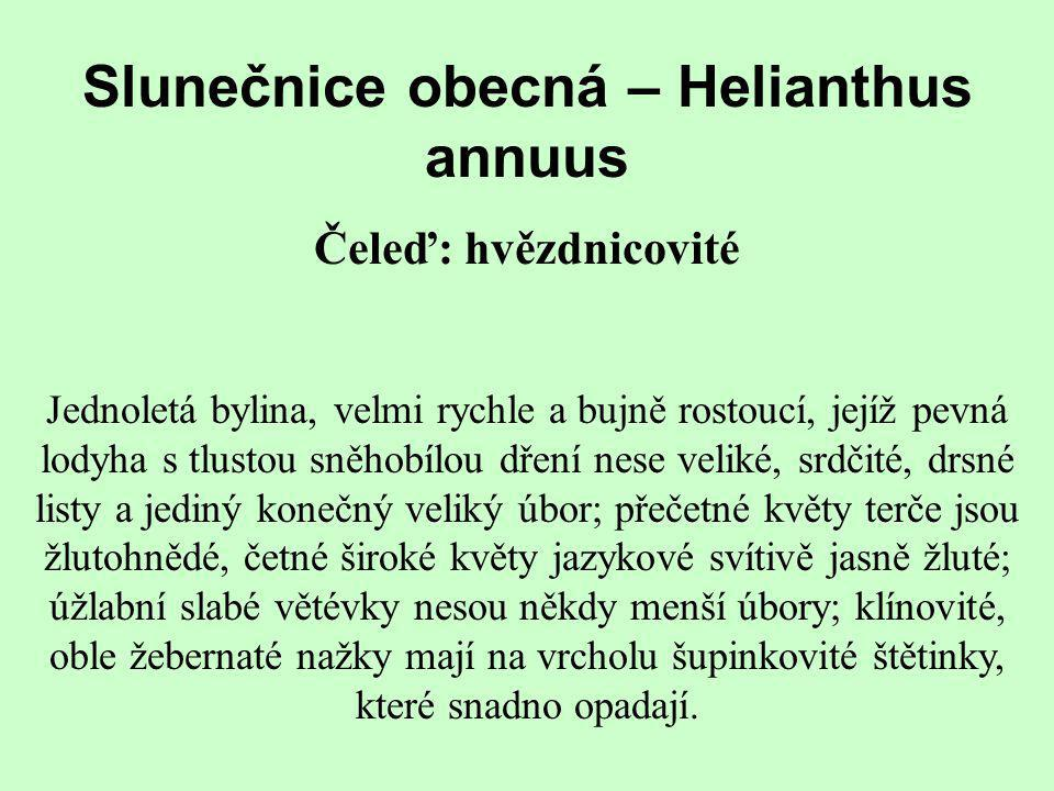 Slunečnice obecná – Helianthus annuus Čeleď: hvězdnicovité Jednoletá bylina, velmi rychle a bujně rostoucí, jejíž pevná lodyha s tlustou sněhobílou dř