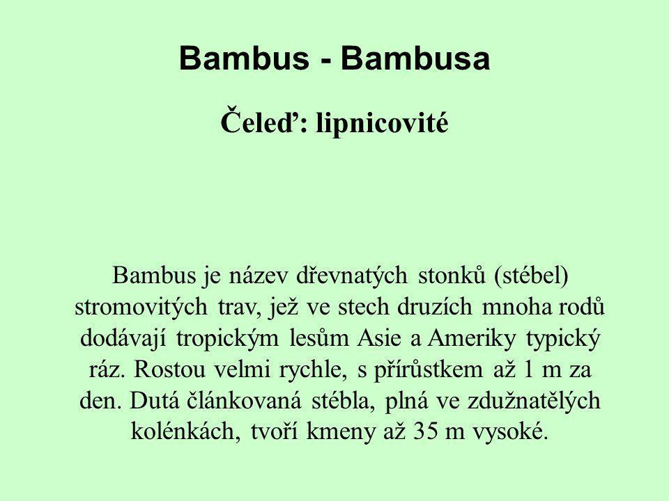 Bambus - Bambusa Čeleď: lipnicovité Bambus je název dřevnatých stonků (stébel) stromovitých trav, jež ve stech druzích mnoha rodů dodávají tropickým l