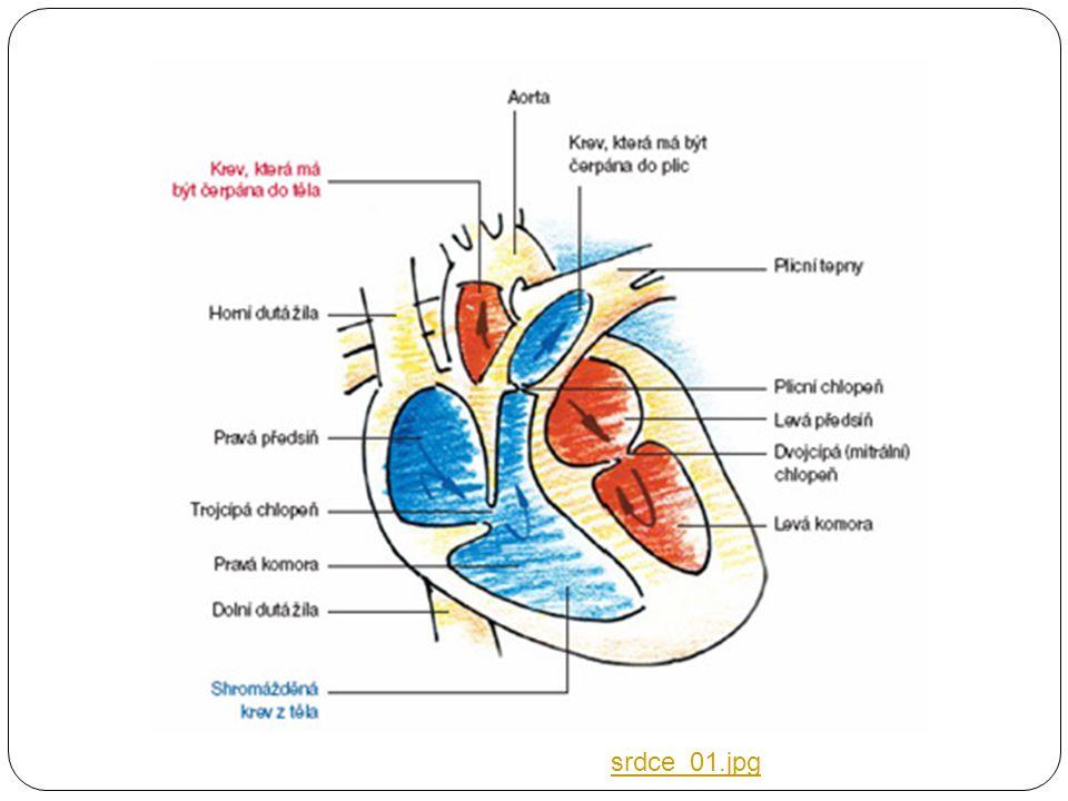 Srdce  Je dutý sval uložený v osrdečníku  Srdeční sval není schopný pracovat bez přívodu kyslíku (anareobně).  Je zásobovaný prostřednictvím srdečn
