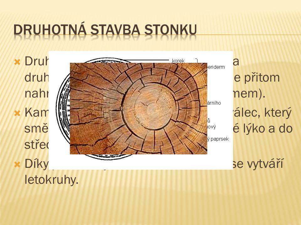  Stonek s primární stavbou je zelený, na povrchu krytý pokožkou (epidermis).  Pod pokožkou se diferencuje prvotní kůra, která má ochranou a zásobní