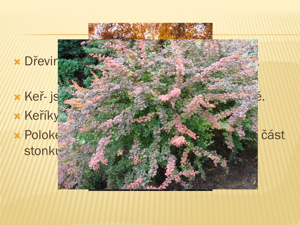  Byliny mají stonek dužnatý (bylinný), dřeviny (stromy, keře, polokeře) charakterizuje stonek dřevnatý.  Bylinné:Lodyha- stonek s listy Stvol- bezli