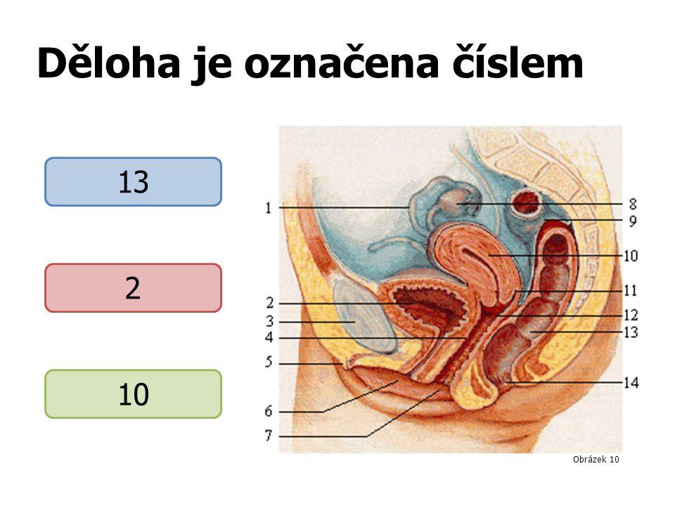 Děloha je označena číslem 13 2 10 Obrázek 10