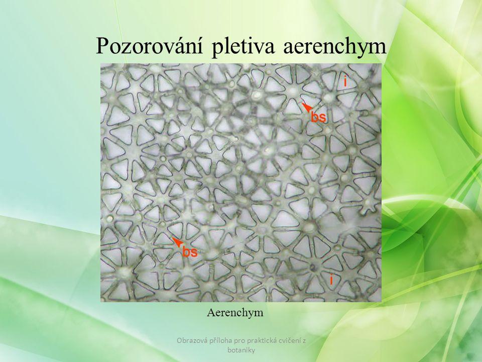 Pozorování pletiva aerenchym Obrazová příloha pro praktická cvičení z botaniky Aerenchym