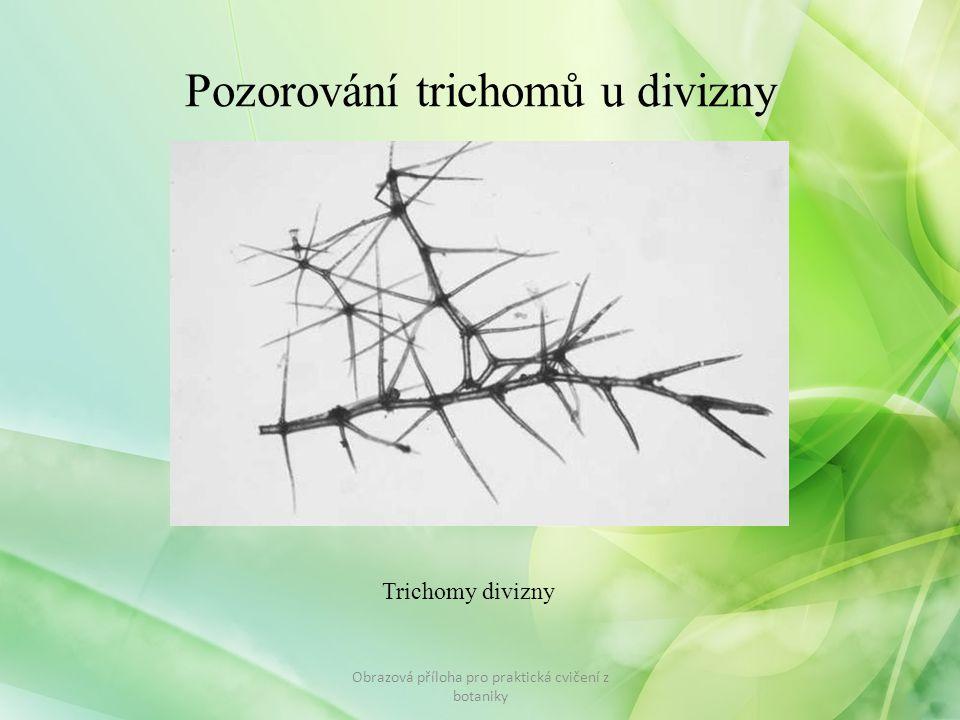Pozorování trichomů u divizny Obrazová příloha pro praktická cvičení z botaniky Trichomy divizny