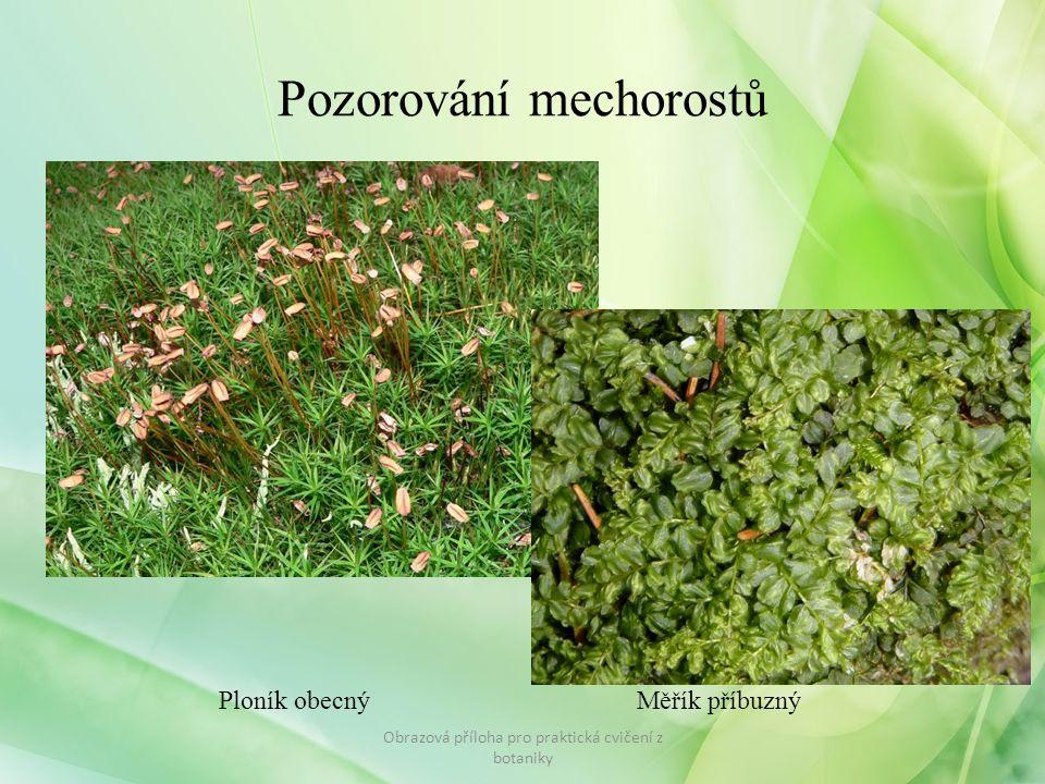 Obrazová příloha pro praktická cvičení z botaniky Pozorování mechorostů Ploník obecnýMěřík příbuzný