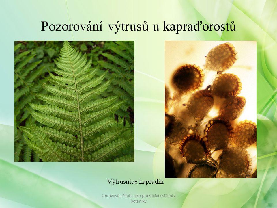 Pozorování výtrusů u kapraďorostů Obrazová příloha pro praktická cvičení z botaniky Výtrusnice kapradin