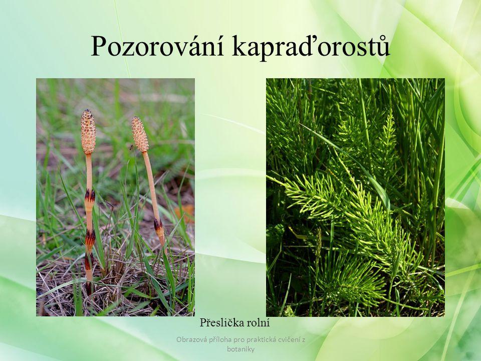 Pozorování kapraďorostů Obrazová příloha pro praktická cvičení z botaniky Přeslička rolní