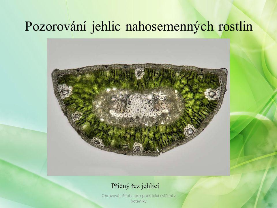 Pozorování vnitřní stavby stonku jednoděložná, dvouděložná rostlina Obrazová příloha pro praktická cvičení z botaniky
