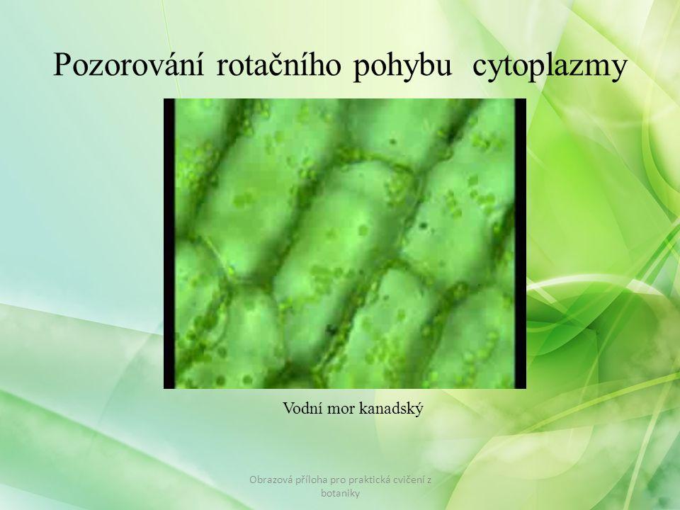 Pozorování rotačního pohybu cytoplazmy Obrazová příloha pro praktická cvičení z botaniky Vodní mor kanadský