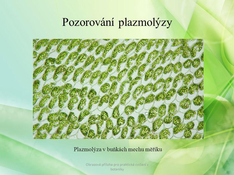 Pozorování plazmolýzy Obrazová příloha pro praktická cvičení z botaniky Plazmolýza v buňkách mechu měříku