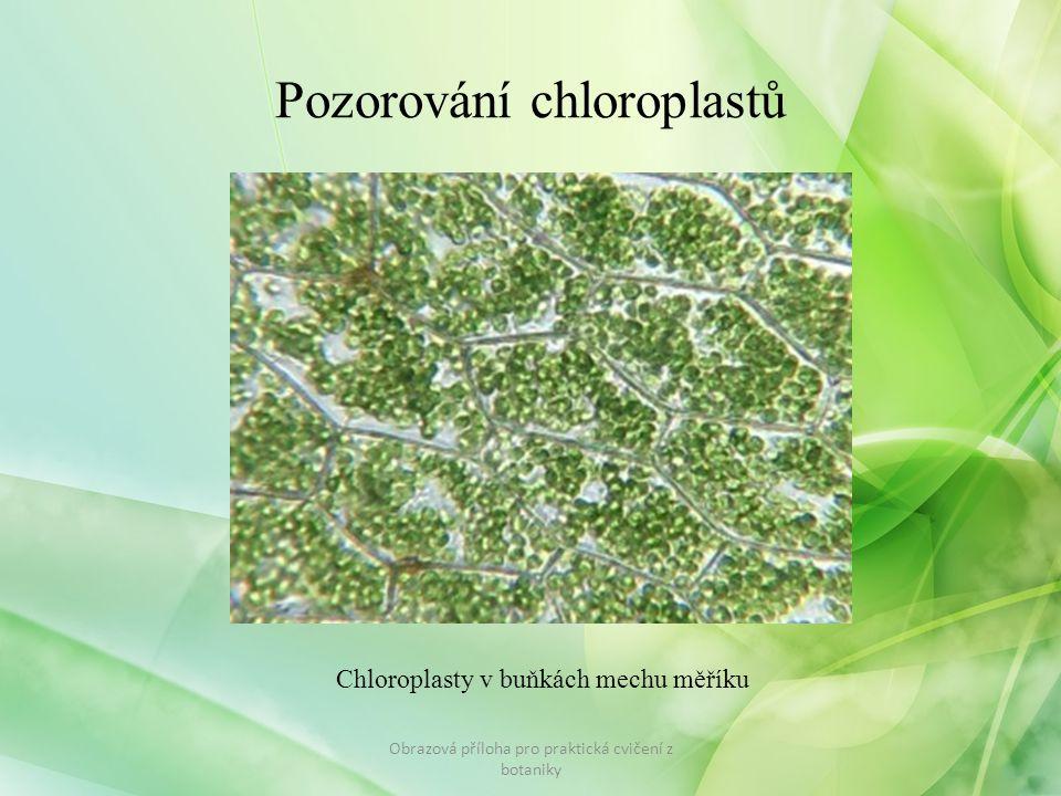 Pozorování chloroplastů Obrazová příloha pro praktická cvičení z botaniky Chloroplasty v buňkách mechu měříku