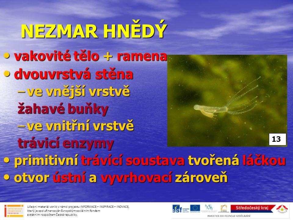 NEZMAR HNĚDÝ • vakovité tělo + ramena • dvouvrstvá stěna –ve vnější vrstvě žahavé buňky –ve vnitřní vrstvě trávicí enzymy • primitivní trávící soustav