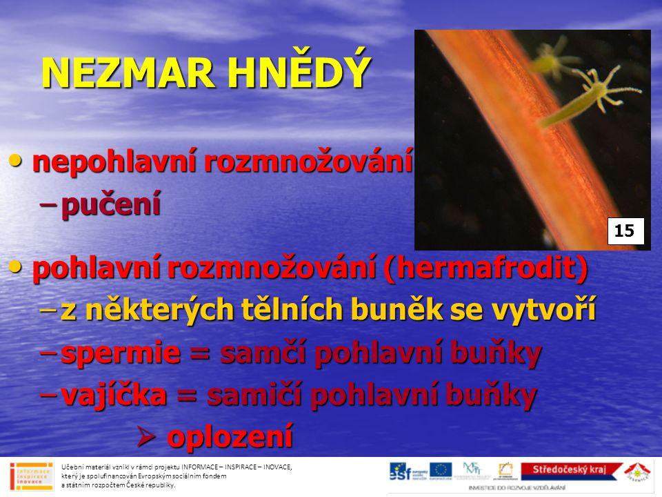 NEZMAR HNĚDÝ • nepohlavní rozmnožování –pučení • pohlavní rozmnožování (hermafrodit) –z některých tělních buněk se vytvoří –spermie = samčí pohlavní buňky –vajíčka = samičí pohlavní buňky  oplození  oplození Učební materiál vznikl v rámci projektu INFORMACE – INSPIRACE – INOVACE, který je spolufinancován Evropským sociálním fondem a státním rozpočtem České republiky.