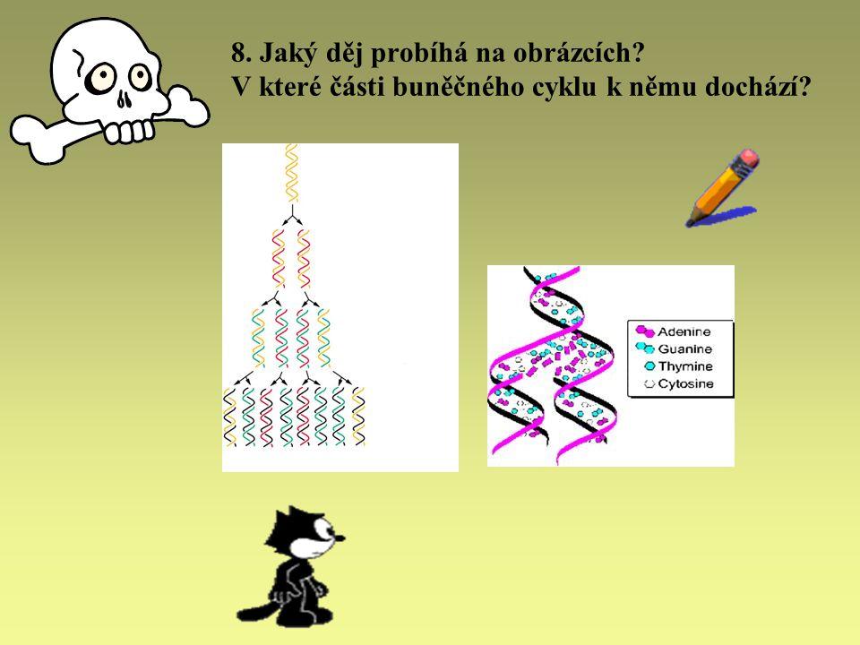 8. Jaký děj probíhá na obrázcích? V které části buněčného cyklu k němu dochází?