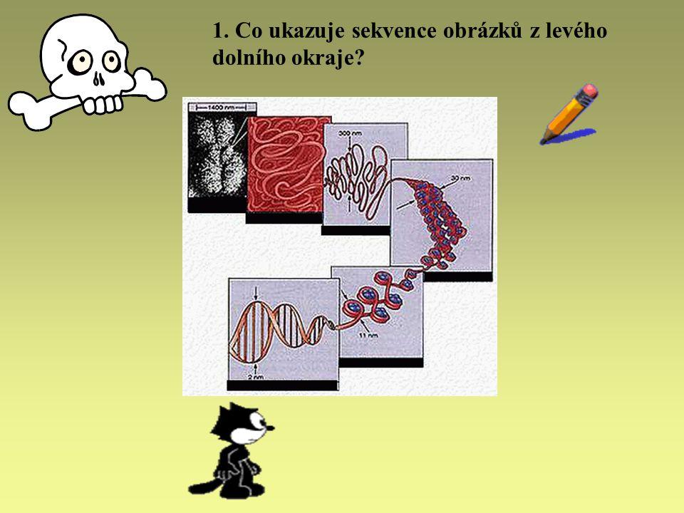 ŘEŠENÍ stupeň kondenzace DNA: vlevo nahoře kondenzovaný chromozóm, vpravo dole rozvolněné vlákno DNA (dvoušroubovice)