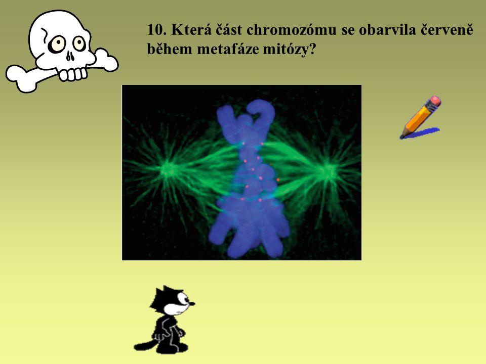 10. Která část chromozómu se obarvila červeně během metafáze mitózy?