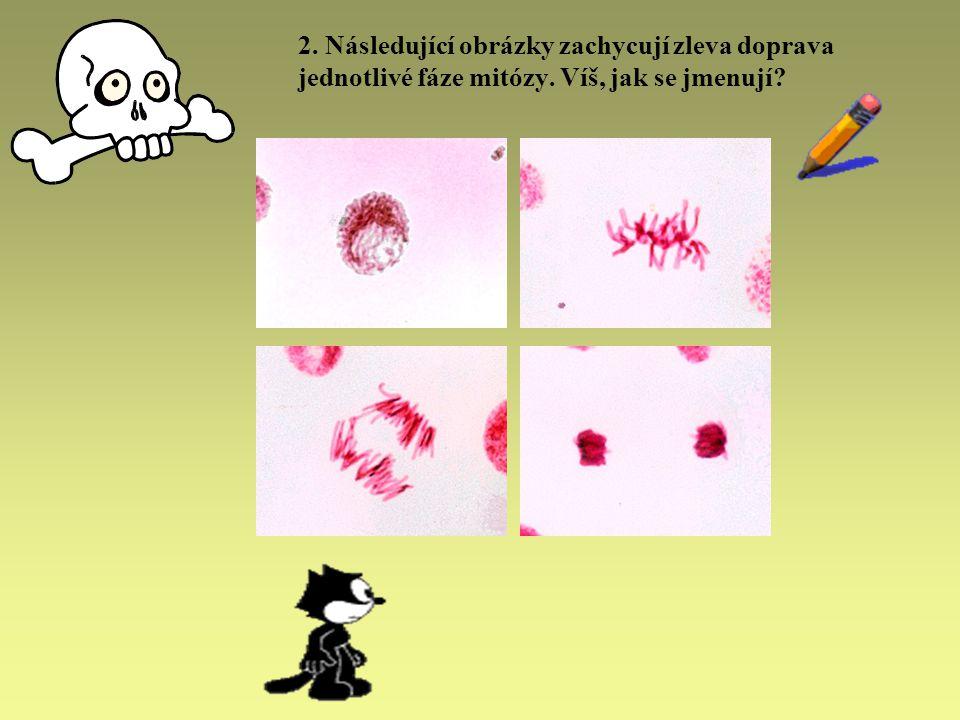 2. Následující obrázky zachycují zleva doprava jednotlivé fáze mitózy. Víš, jak se jmenují?