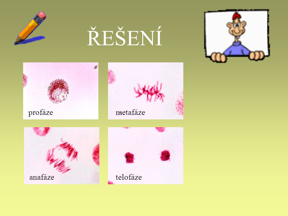 13. Kolik buněk vznikne mitózou a meiózou z jedné buňky? Kolik mají sad chromozómů? replikace
